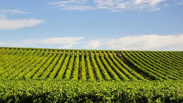 Show of rows of vines in vineyard with blue sky in background
