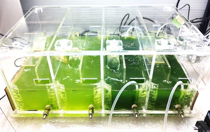 Algae growing in perspex tank